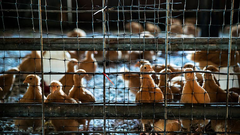 Chicken chicks in a chicken house