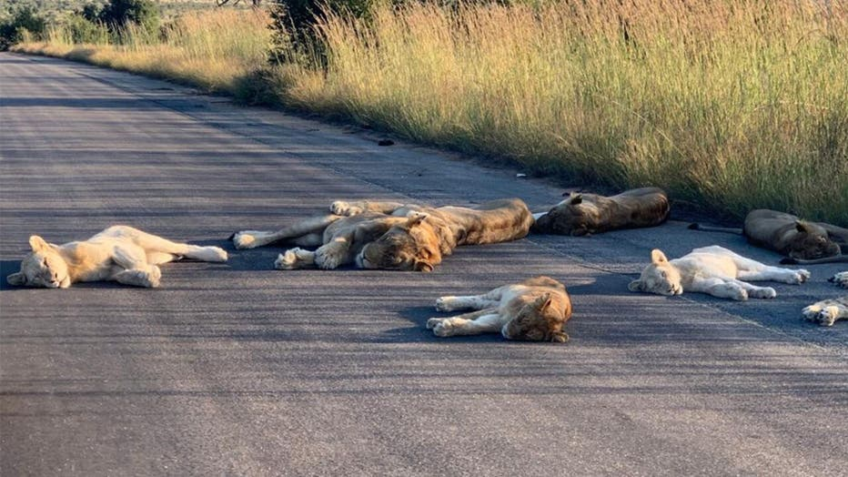 694d827a-Lions-KNP-3.jpg