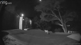 Dramatic video shows mountain lion walking up to Thousand Oaks homes