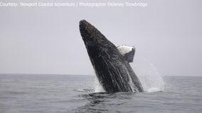 Baby whale breaches surf off California coast