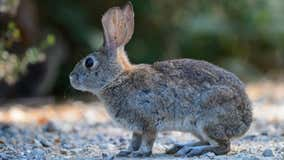 Highly contagious hemorrhagic rabbit disease found in California for 1st time