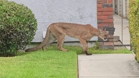 Mountain lion sighting in Monrovia neighborhood