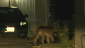 Mountain lion sighting in Monrovia