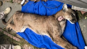 Mountain lion captured in crawl space underneath Monrovia home dies
