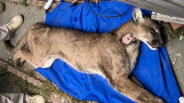 Mountain lion captured in crawl space underneath Monrovia home dies