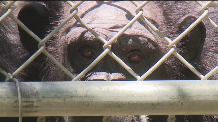Dozens of local chimpanzees need help