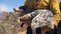 OC firefighters rescue little dog lost during Apple Fire, reunited with owner