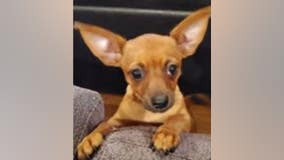 Authorities seek help to find man who stole 4-month-old Chihuahua in Larchmont