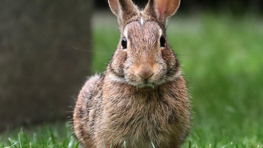 Deadly virus targeting wild, domestic rabbits detected in Los Angeles County for first time