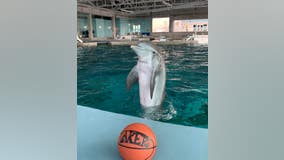 Rescued dolphin predicts LA Lakers to win NBA Finals
