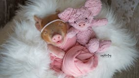 Newborn piglet melts hearts with adorable photo shoot