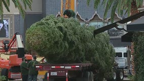 A taste of winter: Citadel Christmas tree arrives from Mount Shasta