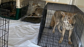 After little girl's arm is bitten off, officials remove wolf-dog hybrids from wildlife rehab