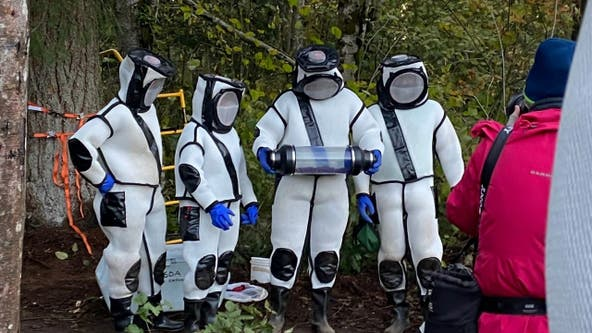 Crews vacuum 'murder hornets' out of Washington nest