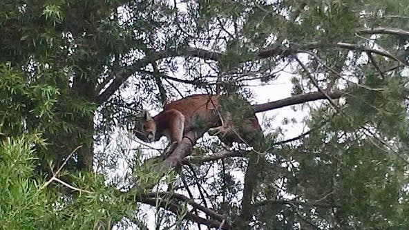 Mountain lion sleeps in Agoura Hills tree