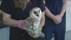 Barn owl recovering after being rescued by OC firefighters during Silverado Fire