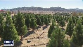 Christmas tree boom brings joy amid pandemic