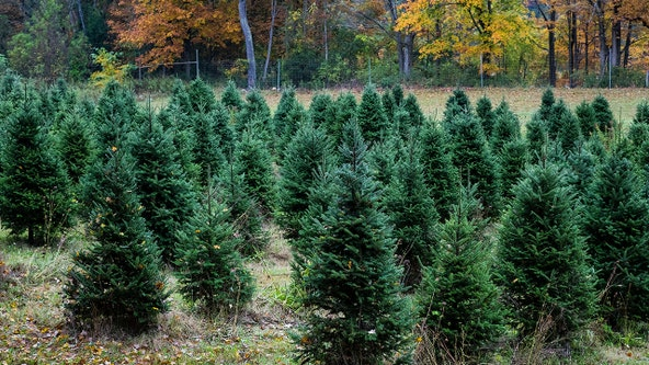 Real Christmas trees provide holiday comfort for many amid COVID-19 pandemic