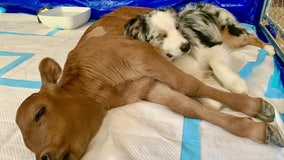 Calf saved from slaughterhouse, family dog become bonded pair during pandemic