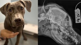 Dog hit by car, shot over 70 times finds forever home for the holidays