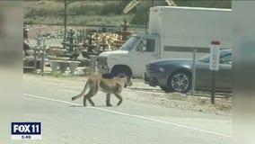 Family shocked after mountain lion kills 17 goats on their Acton farm