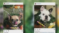 Lady Gaga's dog walker shot, 2 French bulldogs stolen