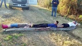 Zolfo Springs cousins wrangle 300-pound, 16-foot Burmese python on family property