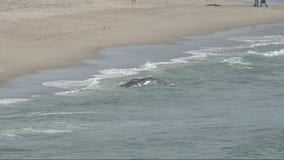 Beached whale at Dockweiler State Beach dies