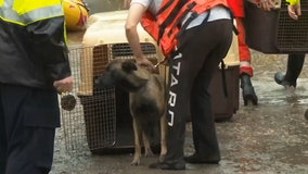 Australian rescue crews ferry 20 dogs to safety after excessive rain floods property