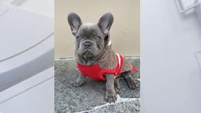 Bulldog puppy stolen at gunpoint in North Hollywood returned to owner