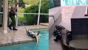 Massive gator gets trapped on lanai before taking a swim in family's pool