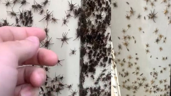 'Look at them all!': Video shows thousands of spiders covering homes in Australia amid severe rains, floods