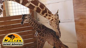 April the Giraffe, whose pregnancy was watched by millions, dies at age 20