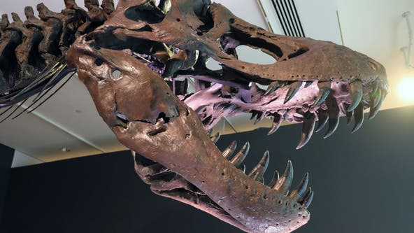 Study: 2.5 billion T. rex roamed Earth, but not all at once