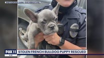 French bulldog puppy snatched at gunpoint in Culver City recovered, suspect in custody