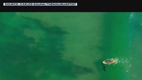 Drones helping researchers find sharks off shore