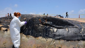 Huge dead whale hauled off Southern California beach