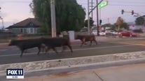 Cows escape from Pico Rivera slaughterhouse
