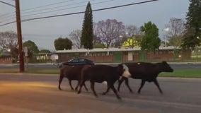 Cows stampede through Pico Rivera neighborhood