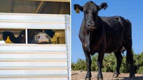 Cow who escaped Pico Rivera slaughterhouse arrives at sanctuary