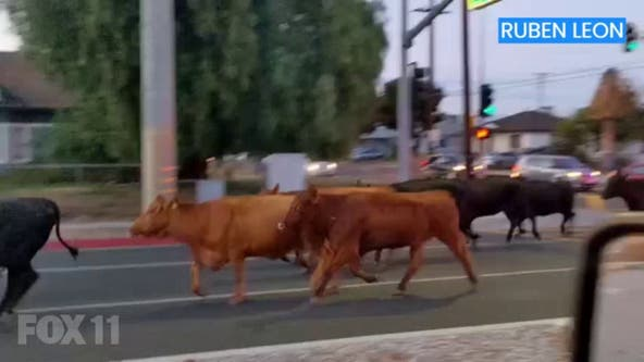 Herd of cows escapes slaughterhouse, takes over Pico Rivera neighborhood and roads