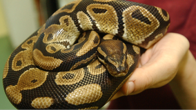 Man bitten by neighbor's escaped python in toilet