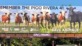 'Remember the Pico Rivera 41': New billboard honors escaped cows