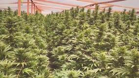 Marijuana bust: 16 tons of illegal marijuana, valued at $1.2B, seized in Antelope Valley