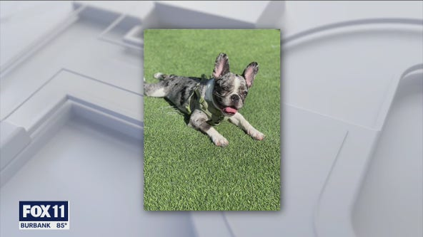 French bulldog puppy stolen in Harbor City, suspects sought