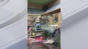'Darth Gator' video shows alligator escape enclosure in Southern California