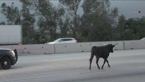 Bull wanders onto 15 freeway in Rancho Cucamonga