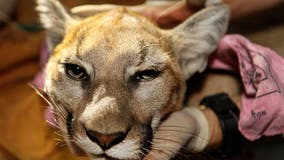 Mountain lion killed after it attacked 5-year-old boy in Calabasas