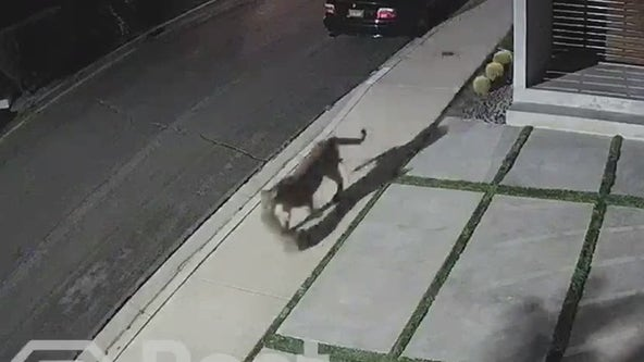 Video: Mountain lion spotted in Studio City