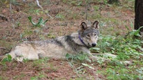 Endangered gray wolf spotted in Southern California may be from Oregon